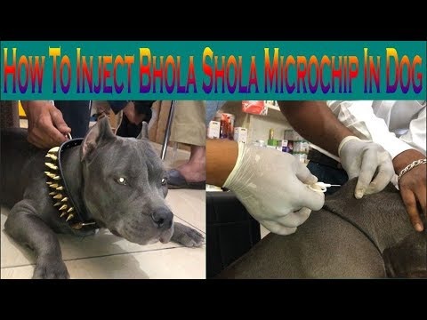 How To Inject Bhola Shola Microchip In Dog