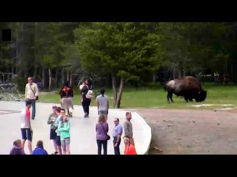 Large Bison Among Visitors. Yellowstone Live Cam June 7, 2018 5 PM MT