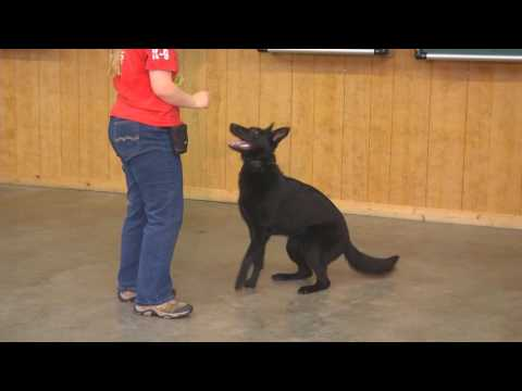 "German Shepherd Female ""Camille"" 11 Months Fun Happy Working Dog For Sale"