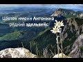 Цветок имени Антонина эдельвейс mp3