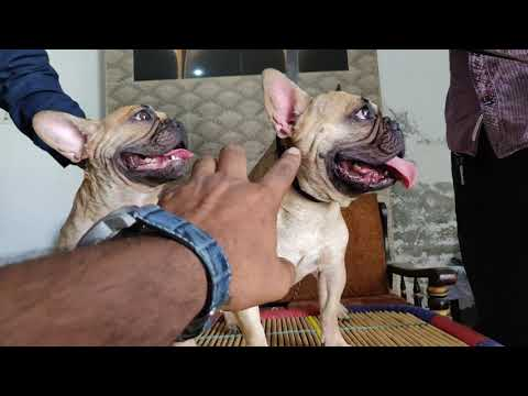 French Bulldog Puppies With Parents - 7404011155,9896504757 - Doggyz World
