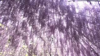 昭和52年4月開園 毎年4月下旬から5月中旬の時期には22種類の藤の花が咲き乱れています。