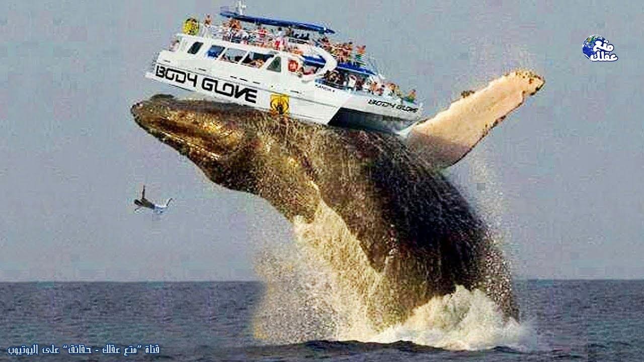 حقائق لا تصدق عن الحوت الازرق اضخم حيوان على الارض سيد الاعماق الحزين دائما Youtube
