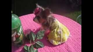 Biewer Yorkshire Terrier Tulip 3# At 2 Years Old Located In Michigan