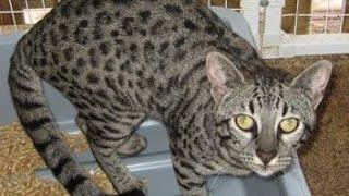 Сафари кошка