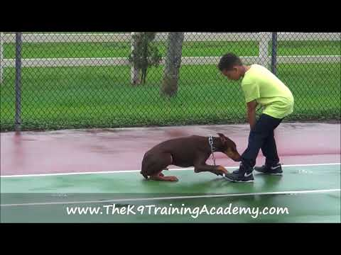 Luke a doberman with his Basic Obedience!!