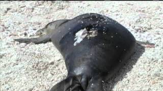 Hawaii Teams Rescue Monk Seals