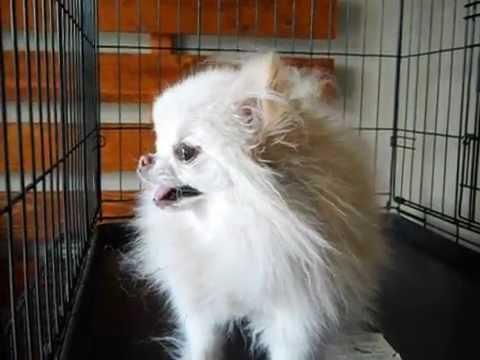 Barking Pomeranian Chihuahua Mix Dog
