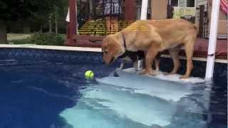 Golden Retriever & Jack Russell Playing In Swimming Pool
