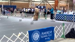 Chinese Shar-Pei Really and Darin, AKC 2014 National Rally Championship, Excellent 2