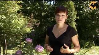 Розы в Саду. серия 28 Голубые розы