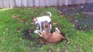 Malinois Mix And Jack Russell Puppies Playing