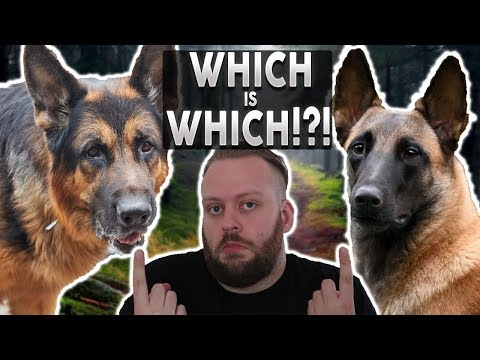 GERMAN SHEPHERD OR BELGIAN MALINOIS! Whats The Difference!?