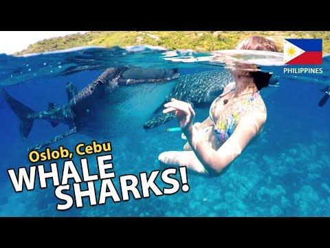 Swimming with Whale Sharks! {Oslob, Cebu}