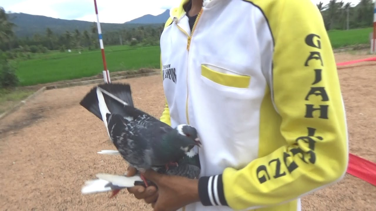 640+ Foto Gambar Burung Merpati Kolongan HD Paling Keren