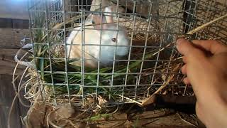 Ужасы кролиководства//Жизнь в деревне