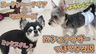 """はじめてのミックス犬""""マイロくん""""、Mシュナウザーには色が似てるだけ?..."""