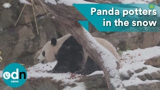 Panda potters in the snow at Smithsonian Zoo