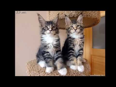 Maine Coon  History,Personality,Health,Care