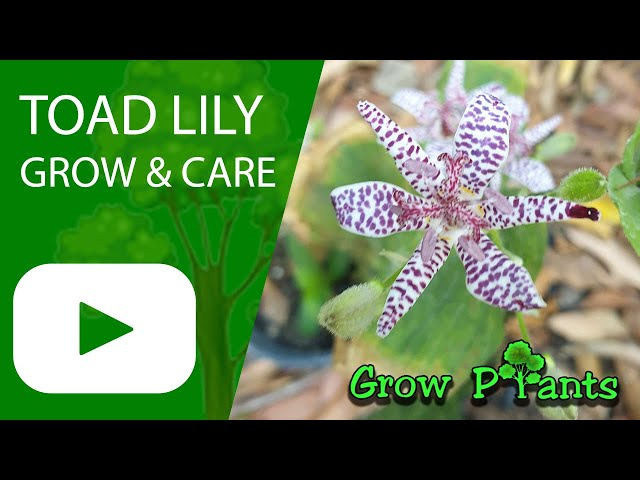50 SHADE PERENNIAL TRICYRTIS JAPANESE TOAD LILY FLOWER SEEDS DEER RESISTANT