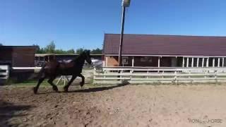 Обзор Фризской породы лошади
