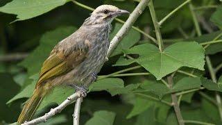 Perbedaan Suara Burung Cucak Rowo Ropel, Engkel/nglagu, Rusak dan Isian MP4