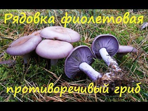 Как называется фиолетовый гриб