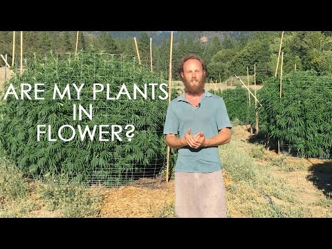 Cannabis in Flower: How to Spot it and What to Do