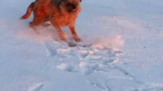 Dog Going Crazy In Snow