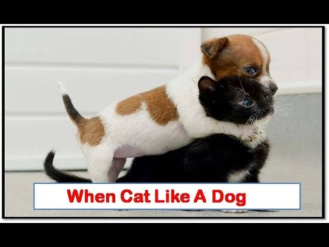 When cat Act like a Dog - funny cat Dog acting moment - cats vs dog funny video - cats and kittens