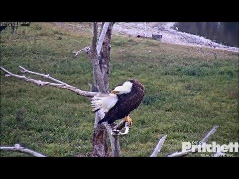 SWFL Eagles ~ Harriet Is The Queen Of Preen 11.30.18