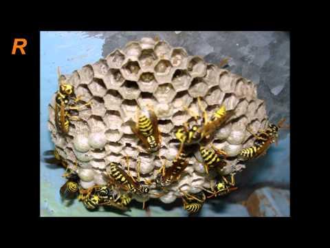 Враги на пасеке - пчела против осы
