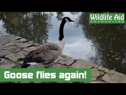 Canada Goose with shattered wing flies again!