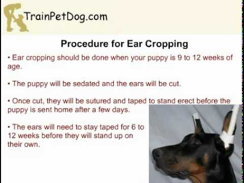 Miniature Pinscher - Docking Tail and Ear Cropping - YouTube