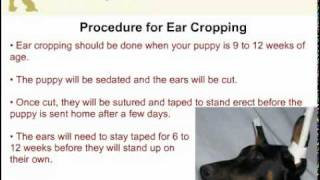 Miniature Pinscher - Docking Tail And Ear Cropping