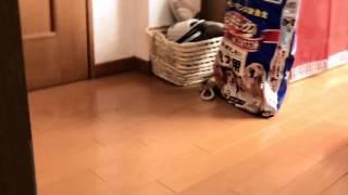 我が家の愛犬「豆」が来てから今日までの話を動画にまとめました。