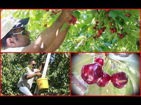 Cherry Picking In #Brentwood | #Organic_Cherry | #California_gardening | #cherry_picking_in_CA_USA