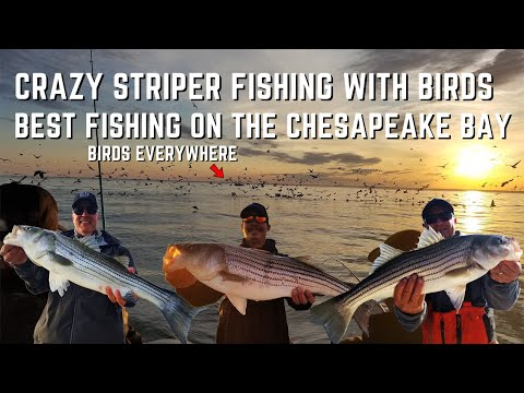 Crazy Striped Bass Fishing The Chesapeake Bay - The Best Time To Fish For Rockfish