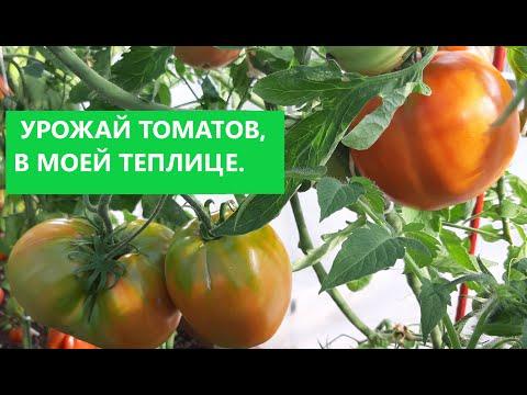 ОБЗОР УРОЖАЯ  МОИХ ТОМАТОВ 2020г.