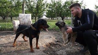 Yeni Çoban Köpeğimi Diğer Köpeklerimle Tanıştırdım