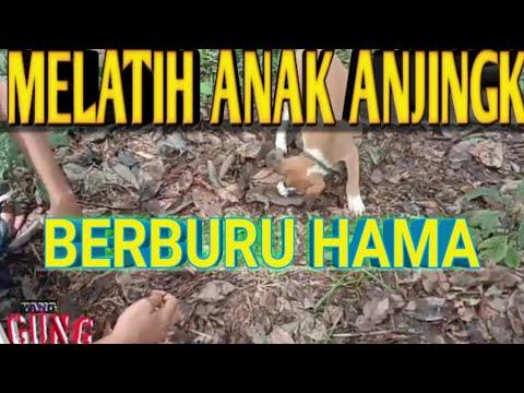 Video Anjing Berburu