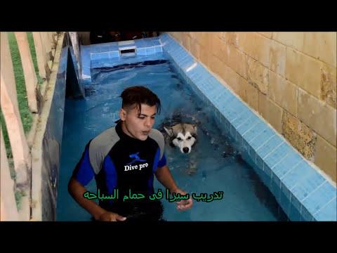 LONA Caucasian ovacharka  &SEZA alaskan malamute  سيزا الاسكن ملاموت& لونا جروه راعى قوقازى for sale