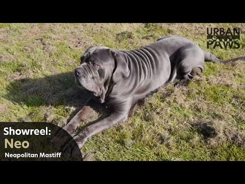 Dog Training: Neo (Neapolitan Mastiff) - Down, Over, Stay, Speak