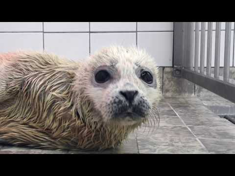 Te vroeg geboren zeehond in de opvang