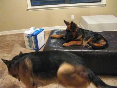 Dogs At Play Puppy German Shepherd Steals Bed Of The Adult