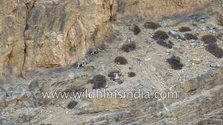 Snow Leopard - The ghost of the mountains and her offspring