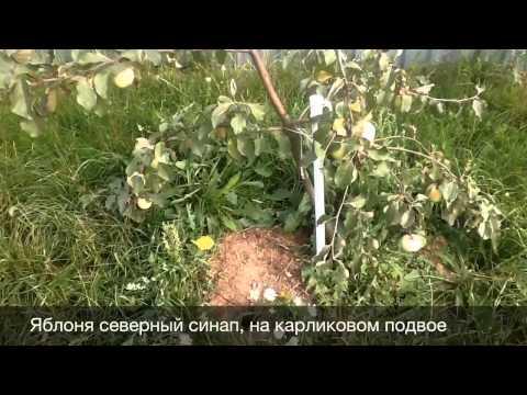 Яблоня сорт Орлик Саженцы в Находке