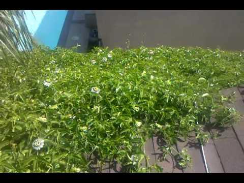 Como se poloniza la flor de maracuya or passion fruit youtube - Como se planta el bambu ...