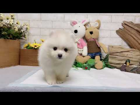 View Ad: Pomeranian Puppy for Sale near Illinois, CHICAGO