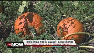 What does it take to have a successful pumpkin harvest?